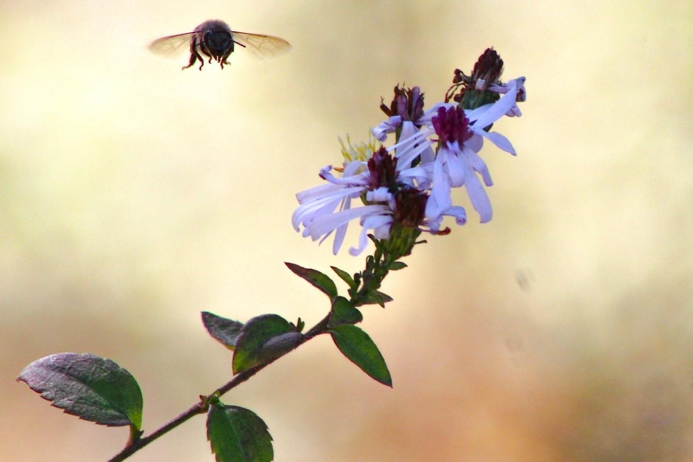 Bee buzzes a nearby flower