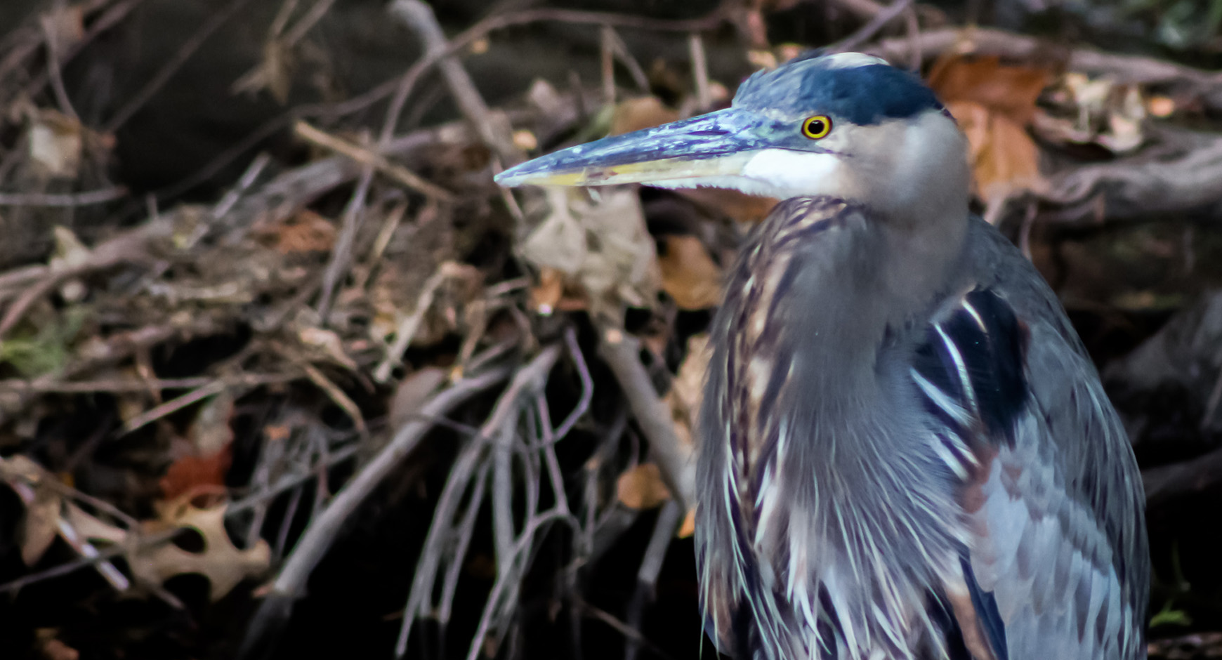Great blue heron in Waller Creek
