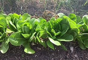 Landfill lettuce