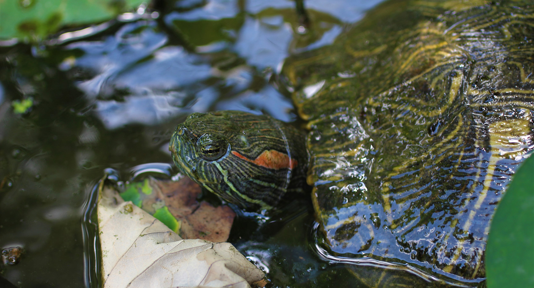 Turtle in Waller Creek