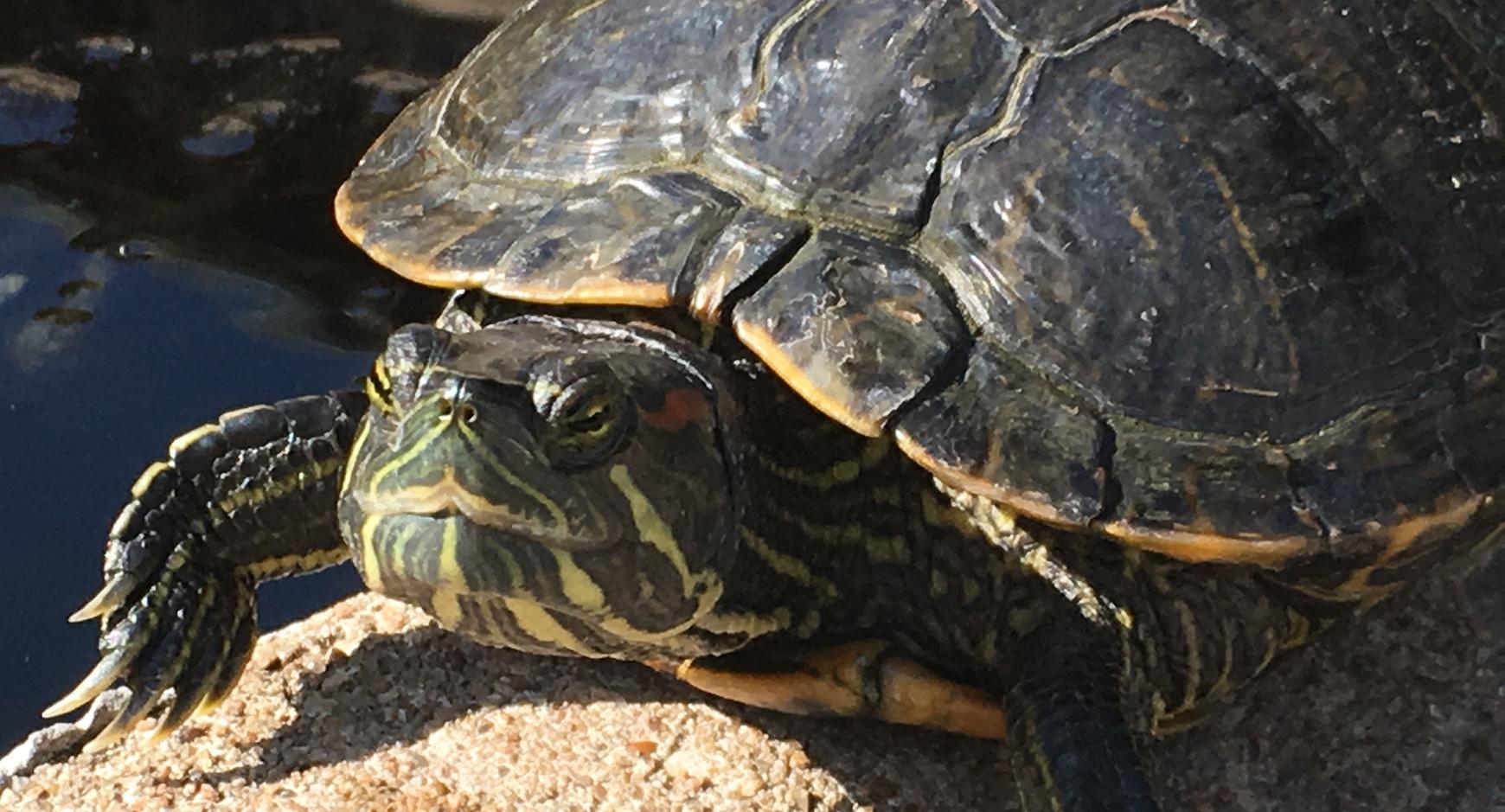 UT Austin turtle