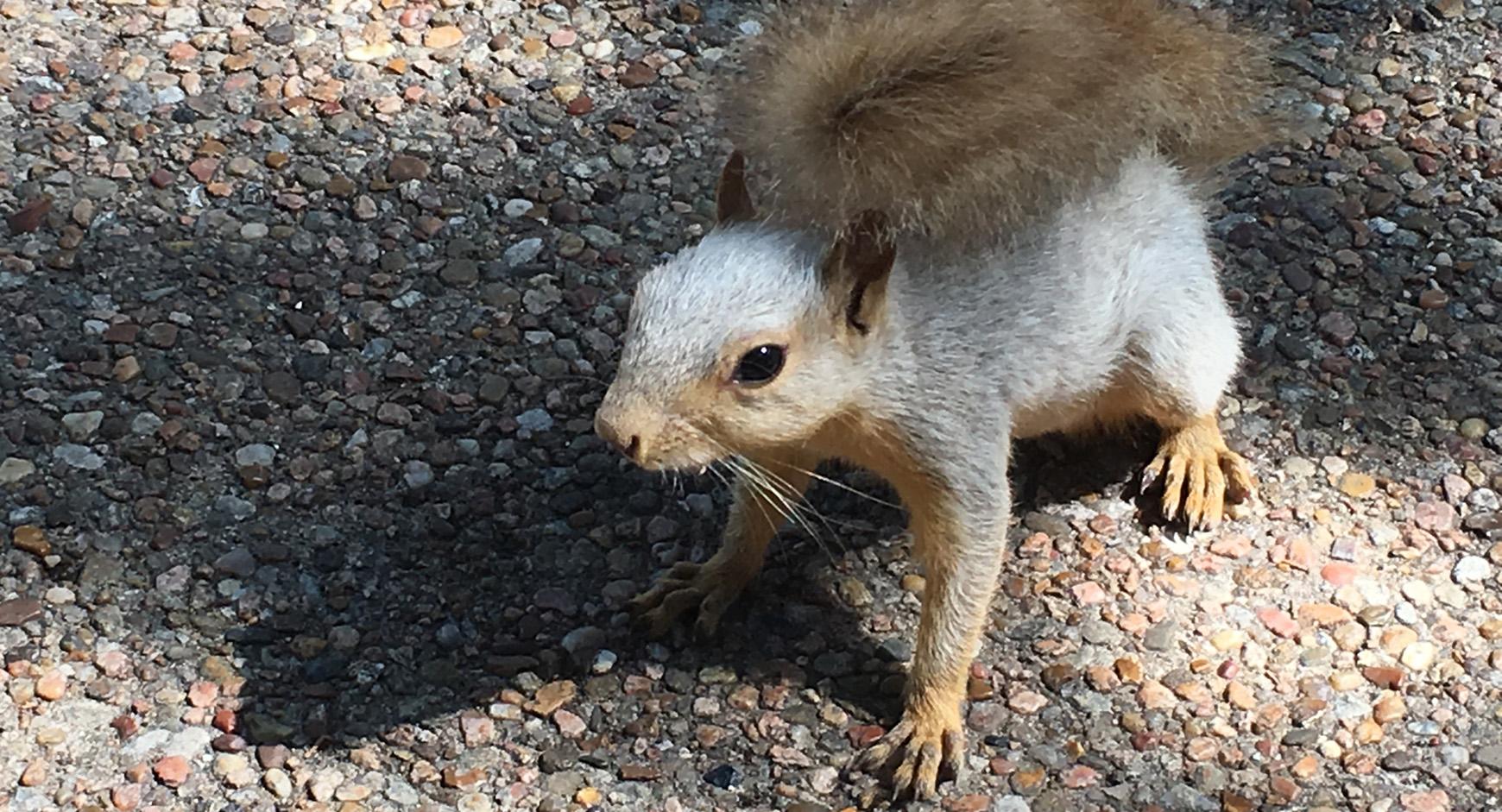UT squirrel