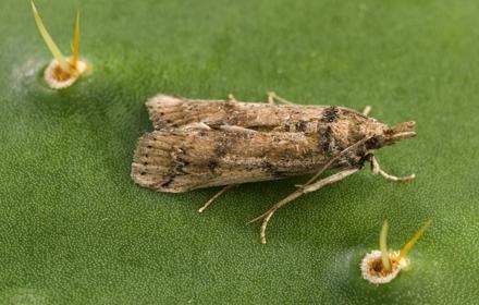 Invasive moth