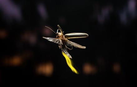 Firefly by Alex Wild