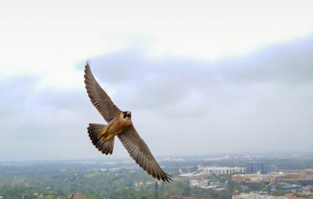 Falcon Tower Girl