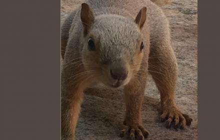 Fox squirrel near Dell Gates