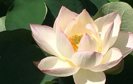 Lotus near Turtle Pond