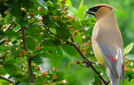 Cedar waxwing Image by Patrice_Audet on Pixabay