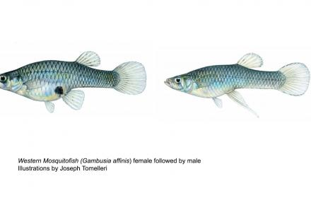 Mosquitofish