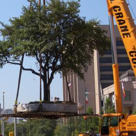 Moving live oak tree on UT Austin campus